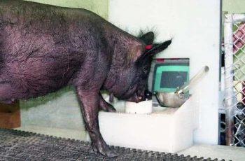 Un estudio puso a cerdos a jugar videojuegos y son más inteligentes de lo que se creía